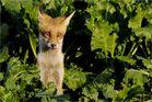 Junger Fuchs # 2