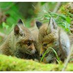 - Junger Fuchs 4 im Wald - Vulpes Vulpes -