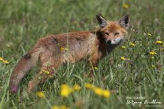 Junger Fuchs am Darß