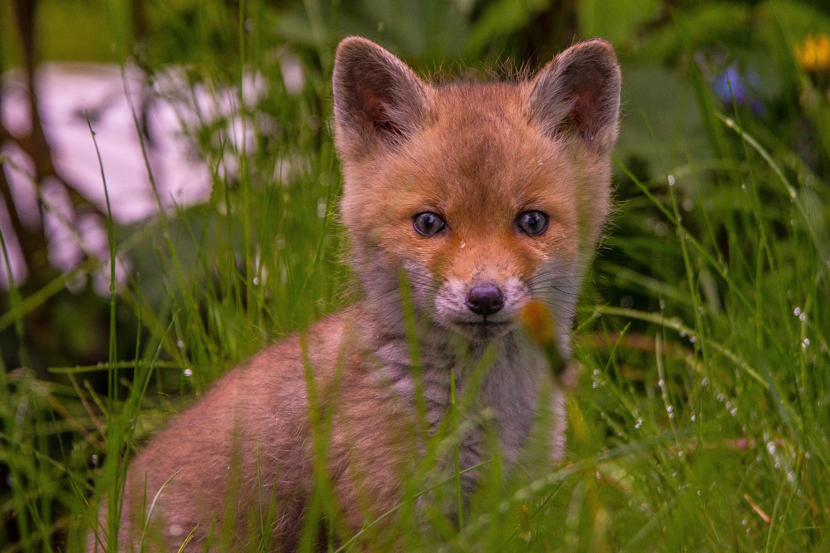 Junger Fuchs Im Garten Foto Bild Tier Tiere Wildlife Bilder
