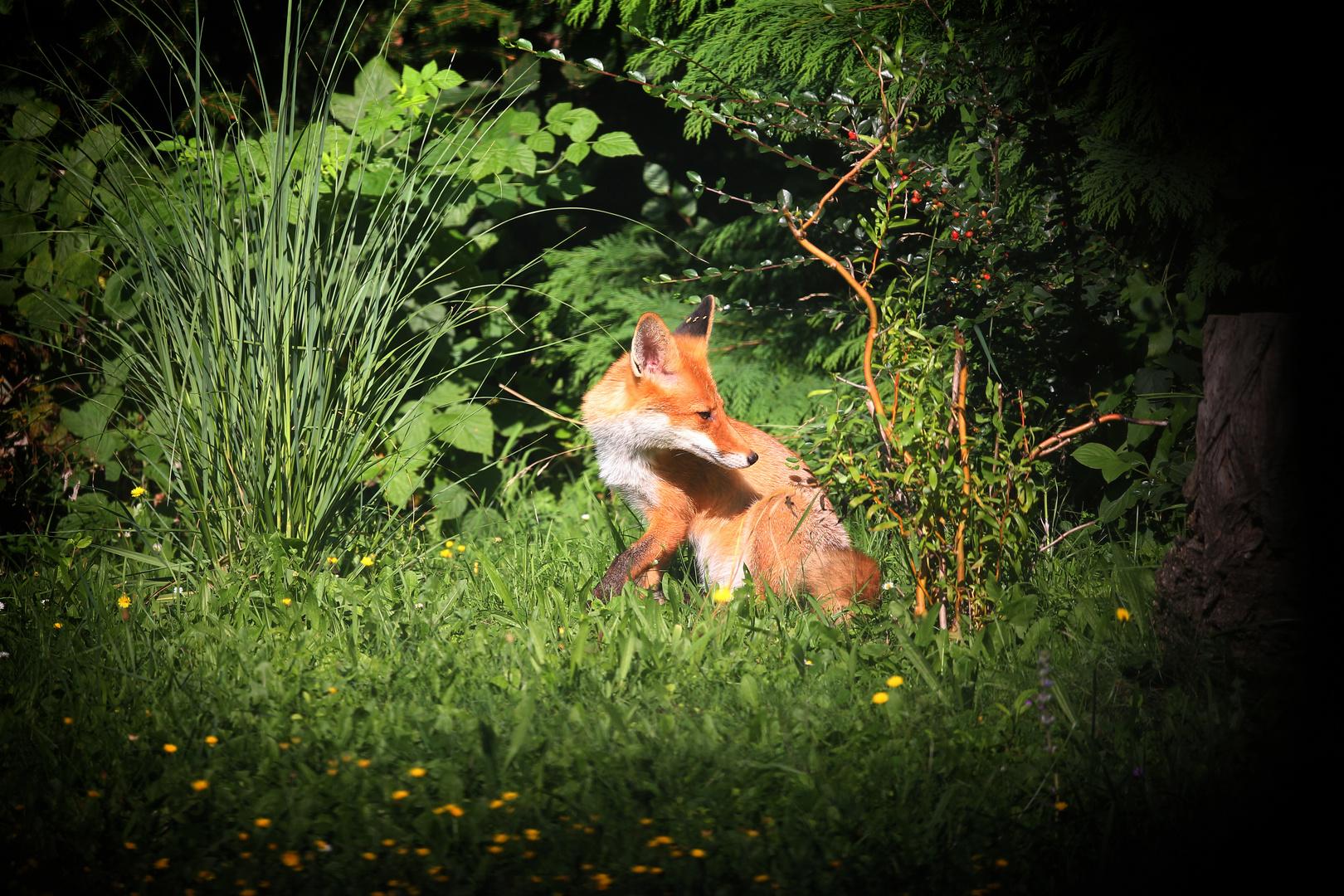 Junger Fuchs Im Garten Foto Bild Tiere Wildlife Wildlife