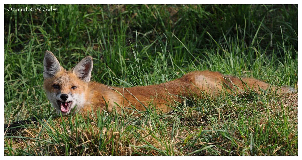 ---- Junger Fuchs Nr. 4 ----- ( Vulpes vulpes )