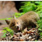 - Junger Fuchs - ( Vulpes vulpes )