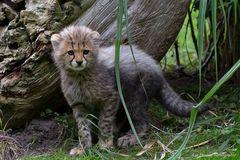 ~ Junger Gepard ~