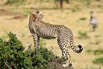 Junger Gepard hält Ausschau....