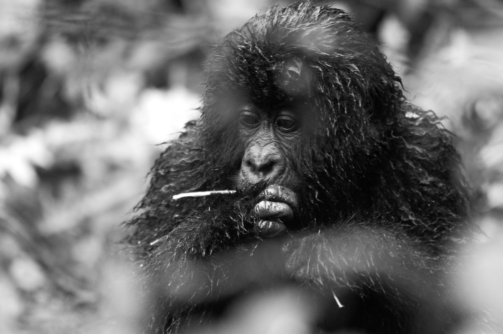 Junger Gorilla, Ruanda
