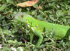 Junger Grüner Leguan