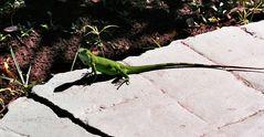 Junger Grüner Leguan (Iguana iguana)