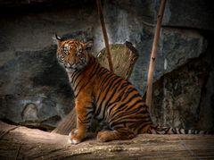 Junger halbstarker Tiger