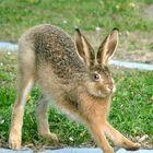 Junger Hase (8 Wochen alt)