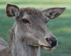junger Hirsch