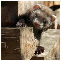 Junger Iltis im Brennholzstapel