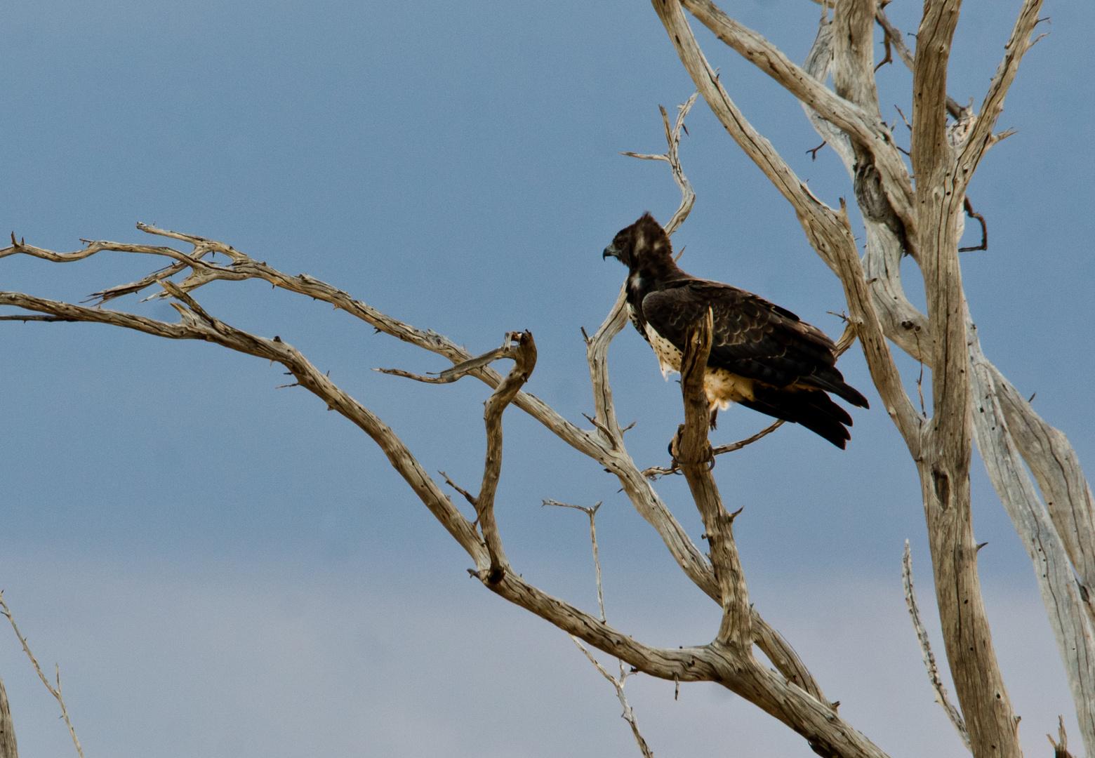 Junger Kampfadler mit Rückenwind