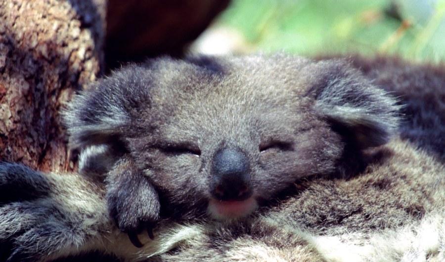 Junger Koala