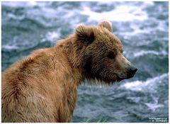 - Junger Kodiak Bär - ( Ursus artctos )