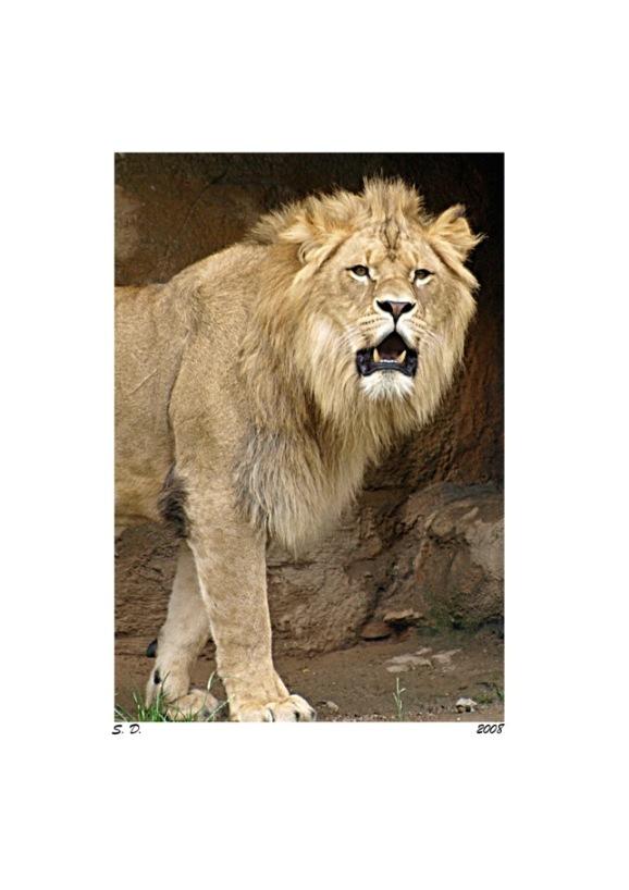 Junger Löwe – Portrait 2