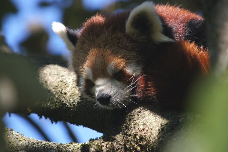 Junger Panda oder Katzenbär
