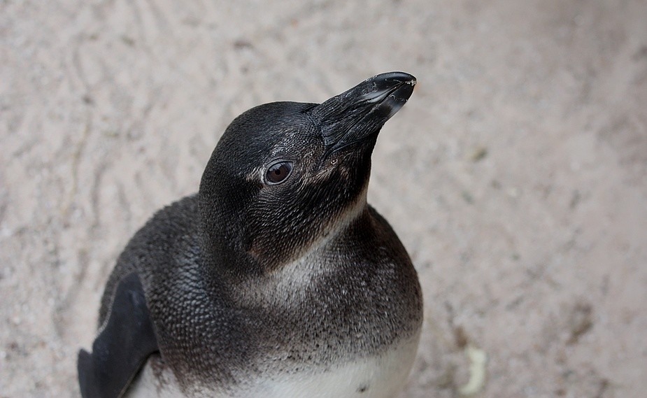 Junger Pinguin