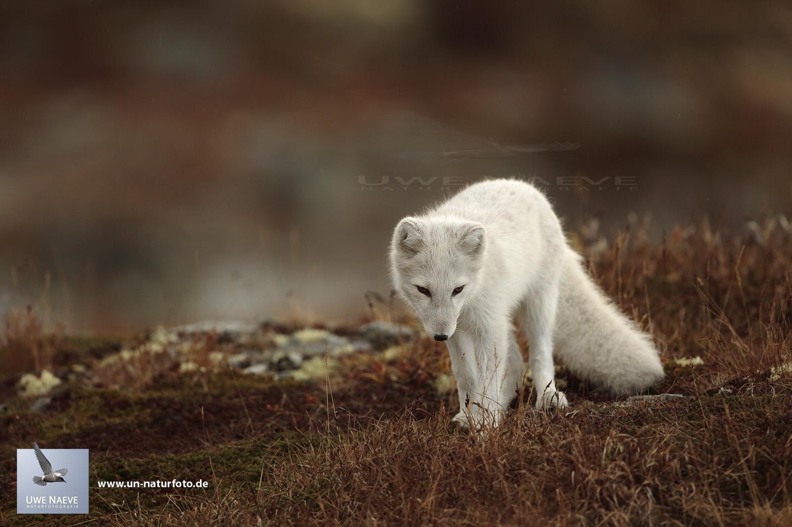 Junger Polarfuchs