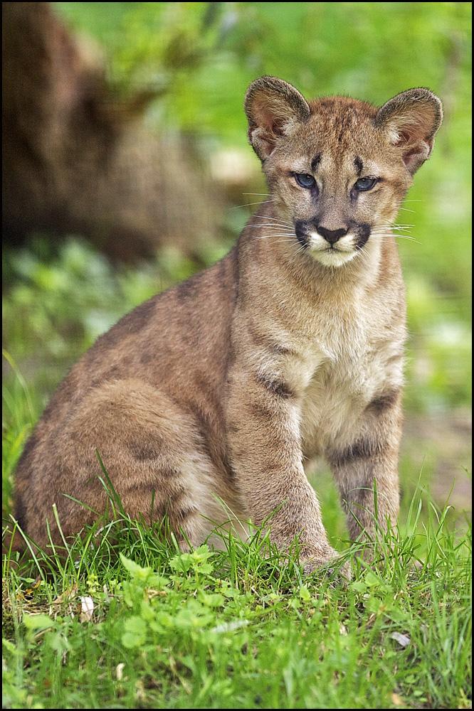 Pumas Junge Beute