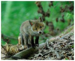 - Junger Rotfuchs 2 - ( Vulpes vulpes )