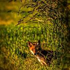 Junger Rotfuchs in der Abendsonne