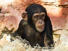 Junger Schimpanse ( Zoom Gelsenkirchen )