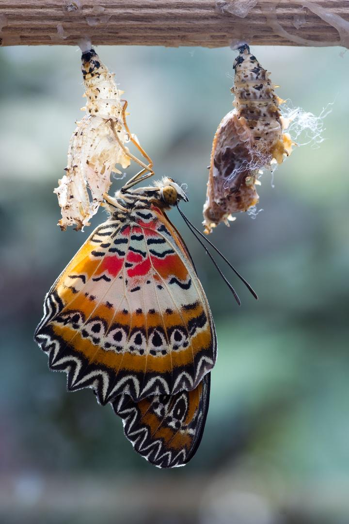 Junger Schmetterling