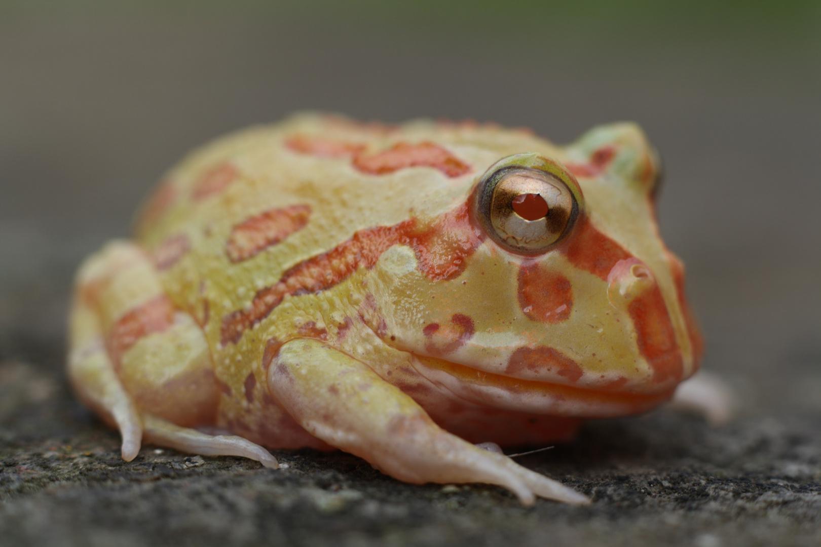 junger Schmuckhornfrosch