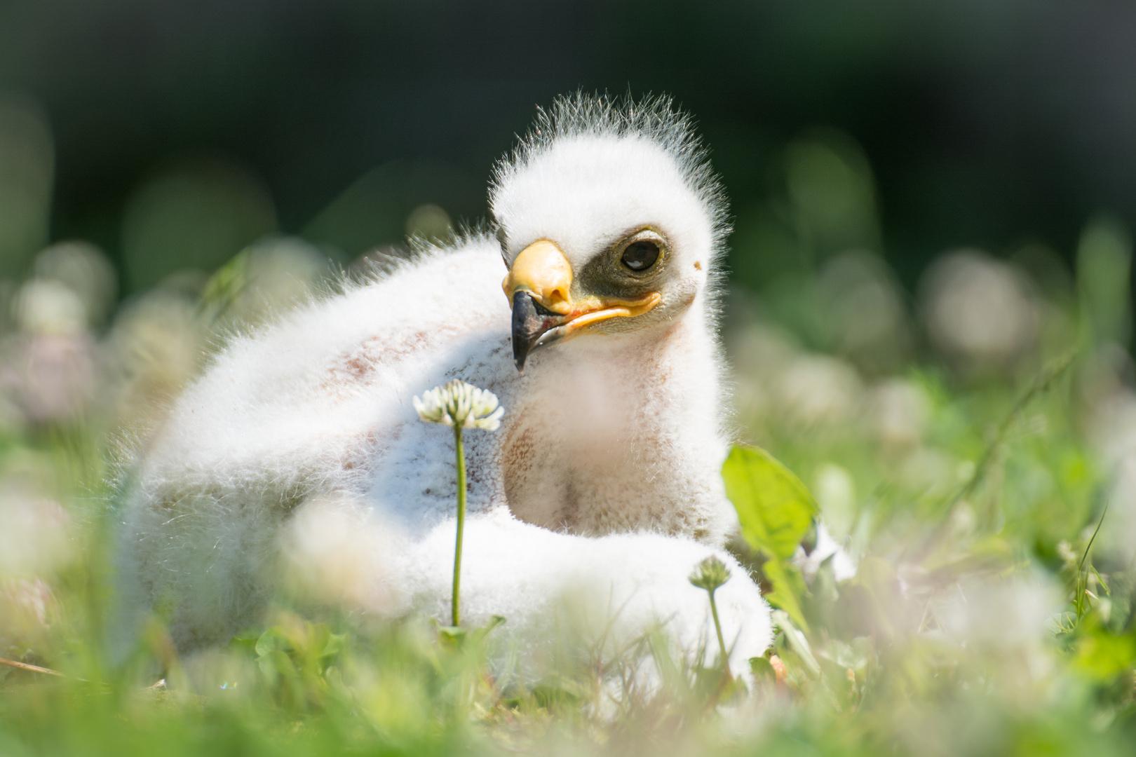 Junger Steppenadler entdeckt eine Kleeblüte
