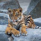 junger Sumatra-Tiger
