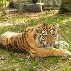 Junger Tiger