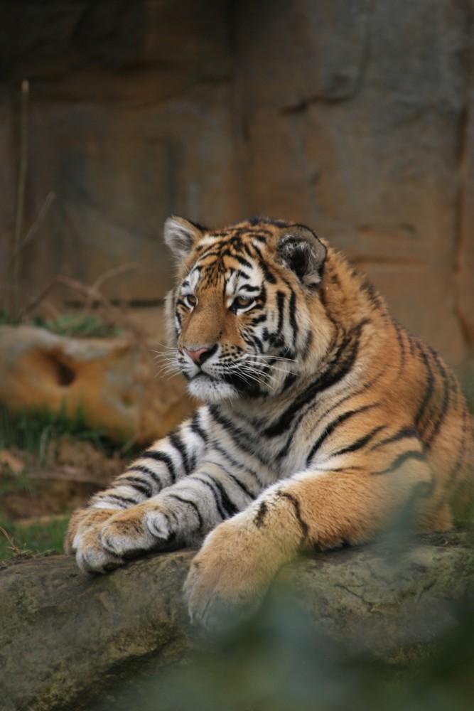 Junger Tiger Foto & Bild | tiere, zoo, wildpark & falknerei ...