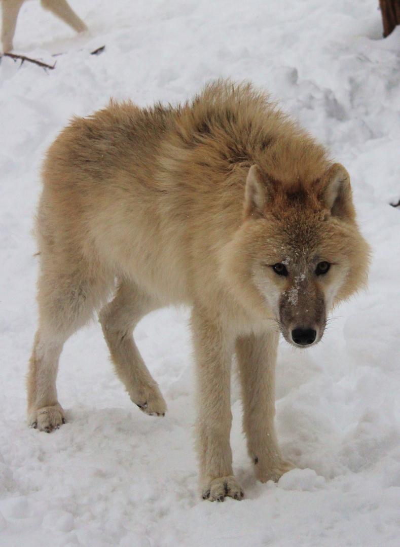 junger Timberwolf