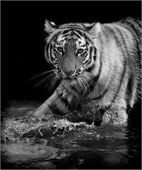 Junger verspielter Tiger