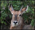 Junger Wasserbock in der Serengeti