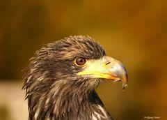 Junger weiblicher Seeadler