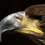 Junger Weißkopfseeadler Detail