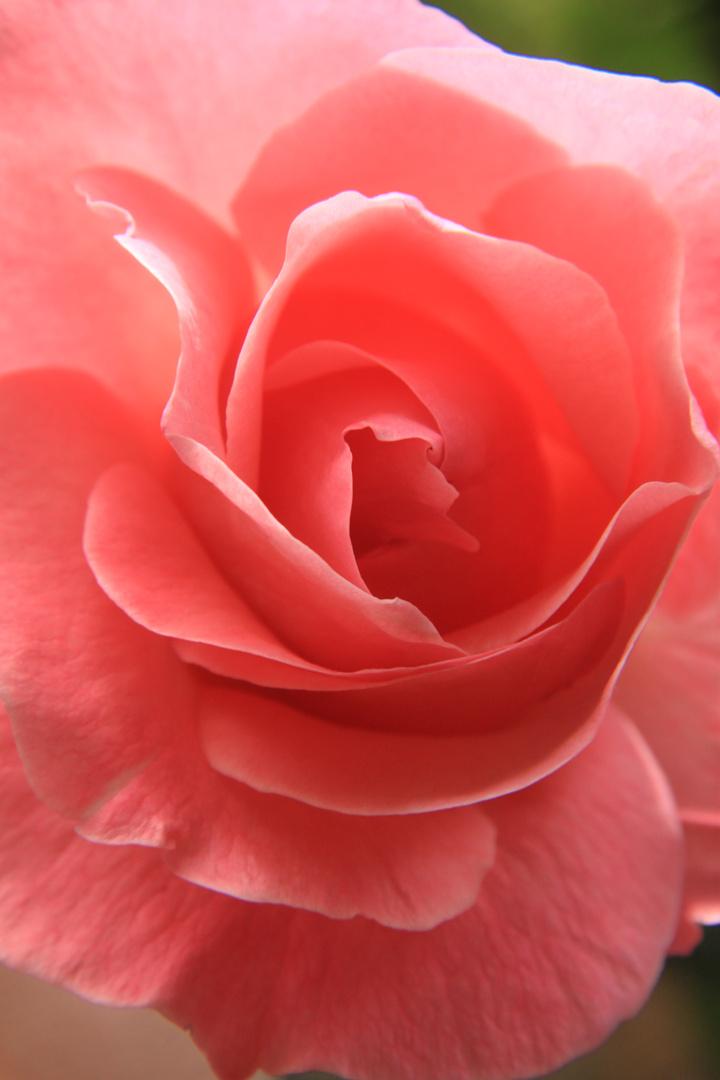 jungerblühende Rose