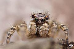 Junges Aelurillus v-insignitus Männchen