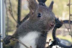 Junges Eichhörnchen, April 2008