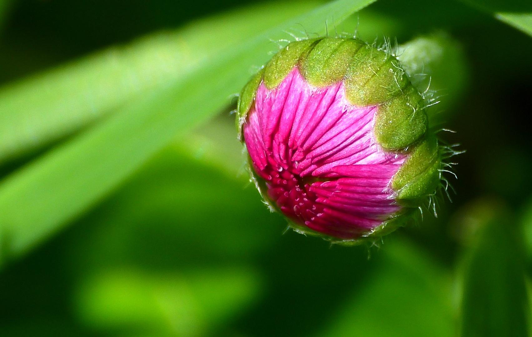 junges Gänseblümchen