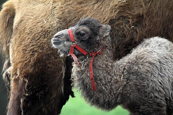 Junges Kamel