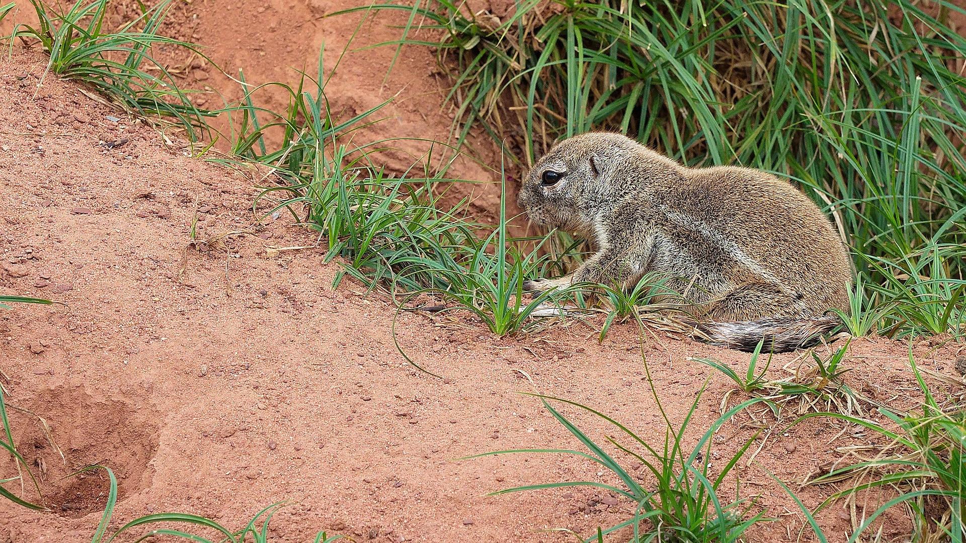 Junges Kap-Borstenhörnchen