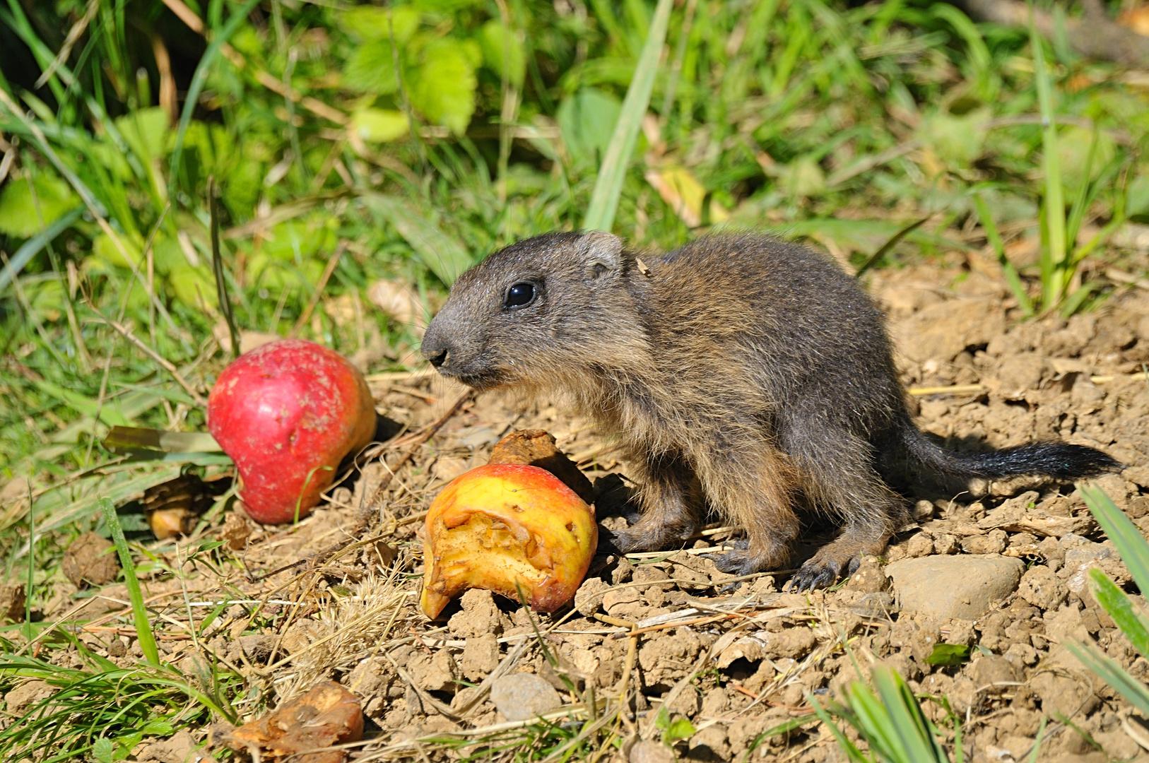 Junges Murmeltier vor dem Fressen