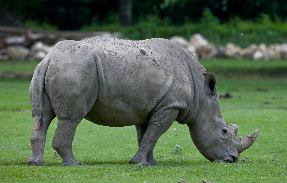 Junges Nashorn Zoo Augsburg