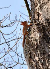 junges rotes Eichhörnchen #2