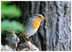 - Junges Rotkehlchen - ( Erithacus rubecula )