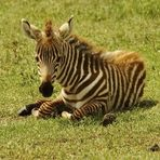 Junges Steppenzebra