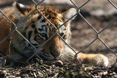 Junges Tigerli